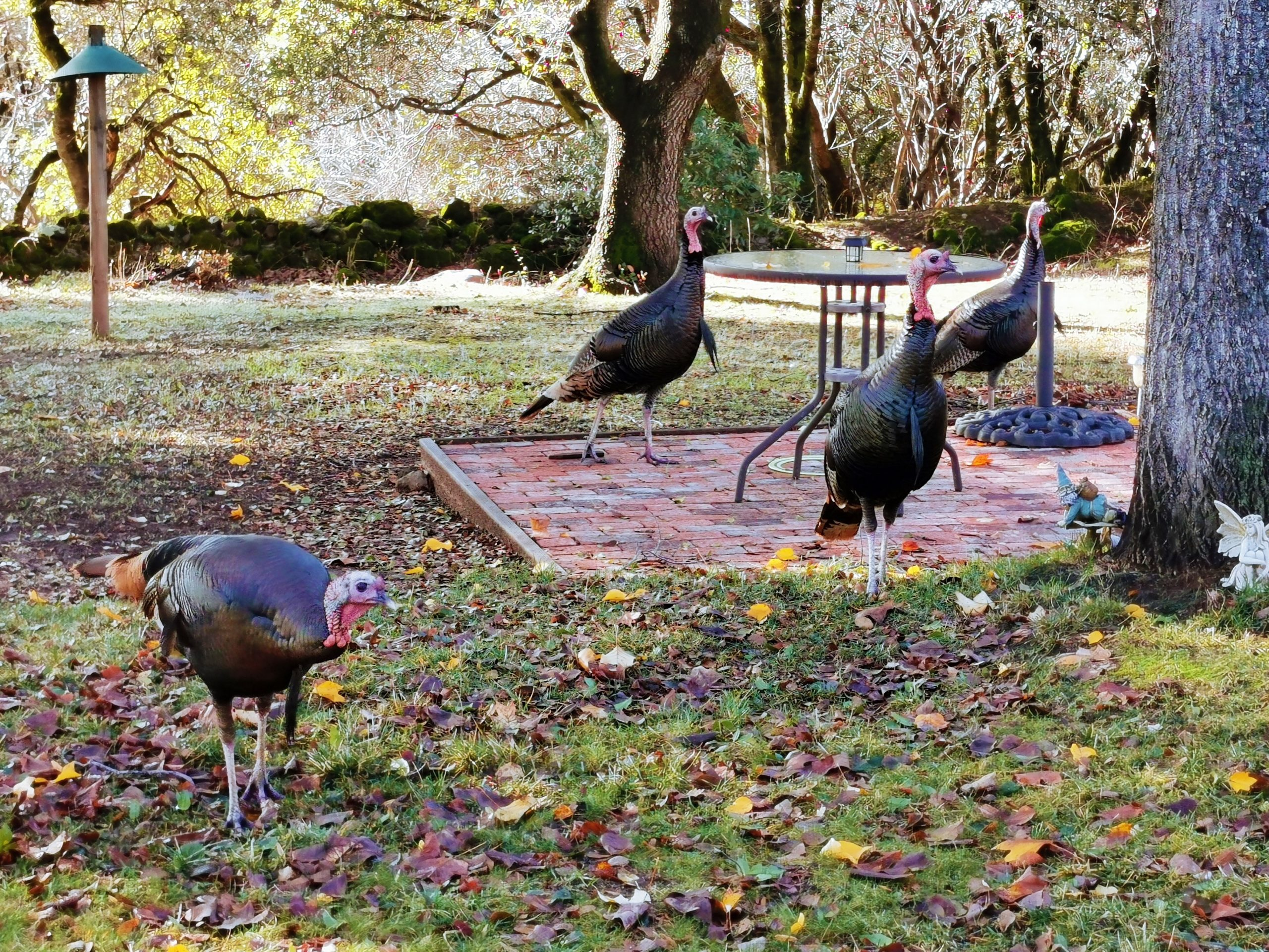 Placerville A Visit From Wild Turkeys